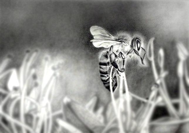 枝川真理の鉛筆画教室、 生徒作 藤田さん 蜂